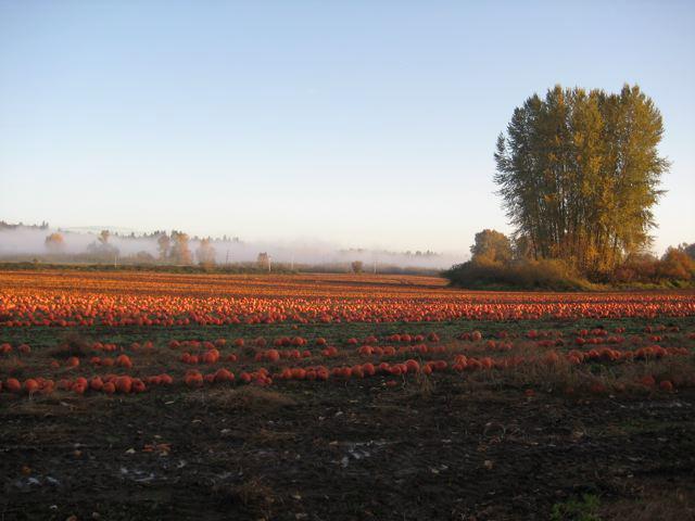 Les Saisons - Page 20 Pumpkin-fields
