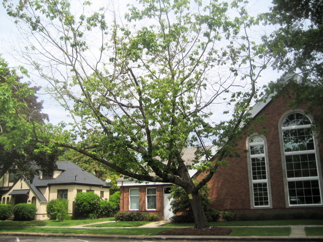 CHURCH TREE BEFORE