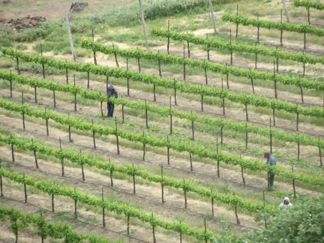 vineyard work