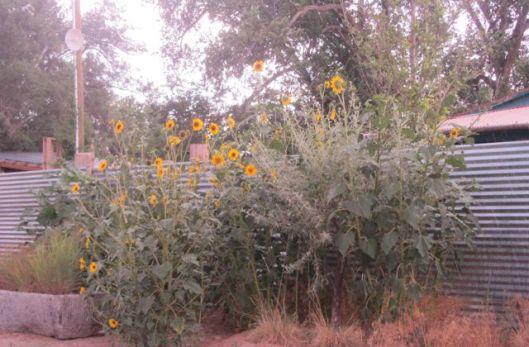 Cerrilos sunflower 3