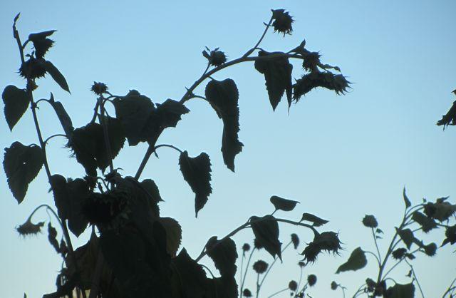 dusk sunflowers