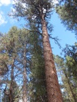 day pine 2
