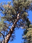 day pine